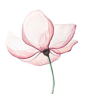 Pink%2520Magnolia%2520flower%252C%2520on