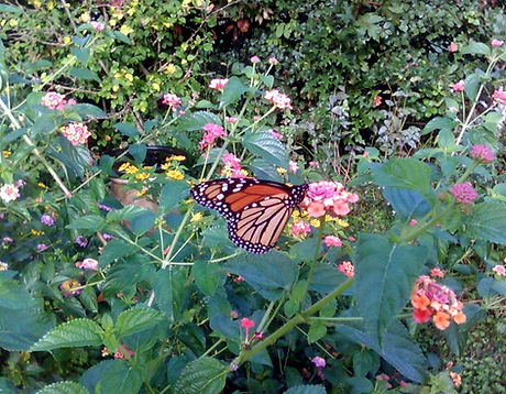 Monarch Butterfly Sighting