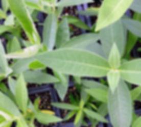 Milkweed plugs.jpg