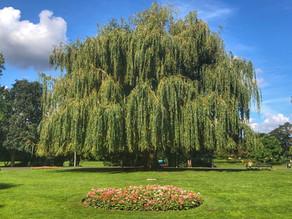 Tree of the week