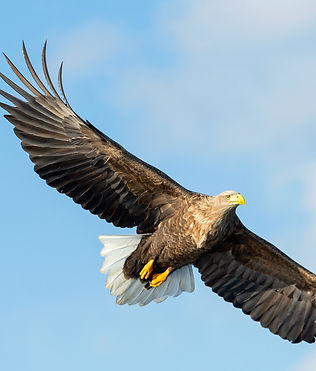 Adult White-tailed eagle in flight. Blue