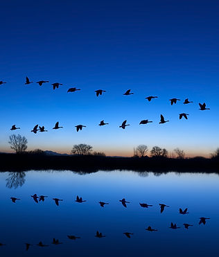 Reflection of Canadian geese flying over