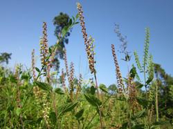 Wood Sage Field