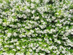 White Jasmine Field