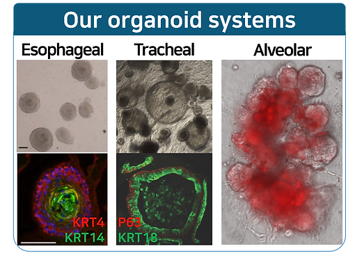 Our organoids.png
