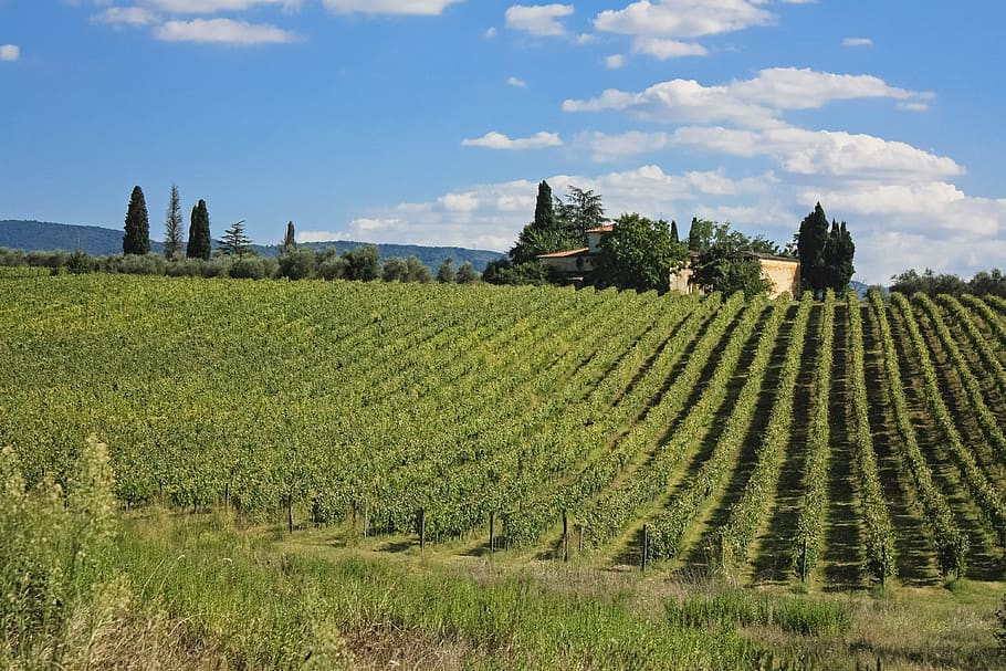 toscana-italy-vine-grape.jpg