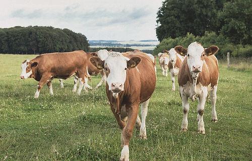 biohof-weckmueller-kuehe-5.jpg