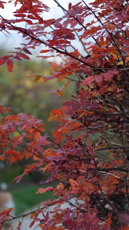 HerbstfärbungJohannisröschen.jpg