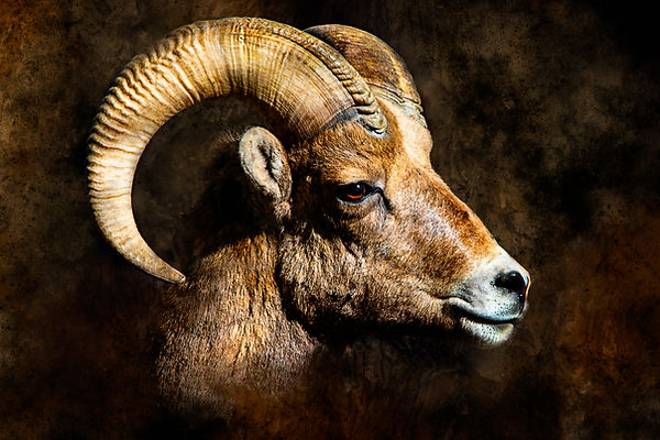 Big Horn Sheep 3 Portrait.jpg