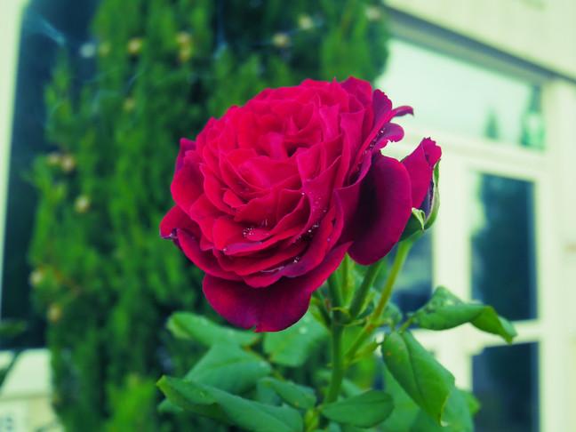 Le petit prince et la rose selon Léonard