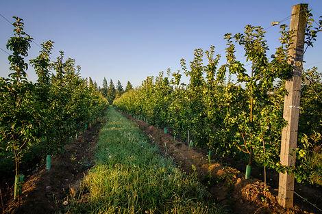 Cider Apples 2.JPG