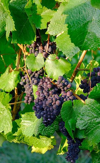 Pinot%20Noir%20Grapes_edited.jpg