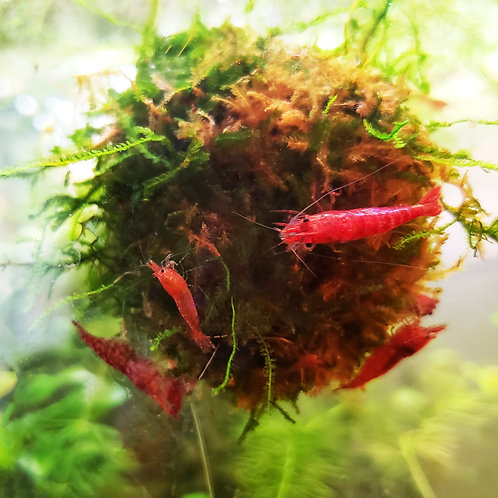 Red Cherry Neocardinia Shrimp