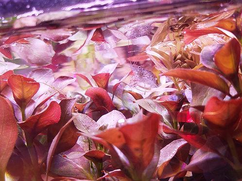 Ludwigia Repens Red Broadleaf