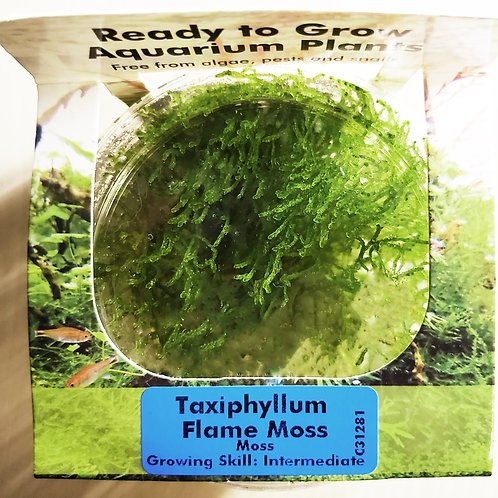 Flame Moss (Taxiphyllum sp Flame) TISSUE CULTURE