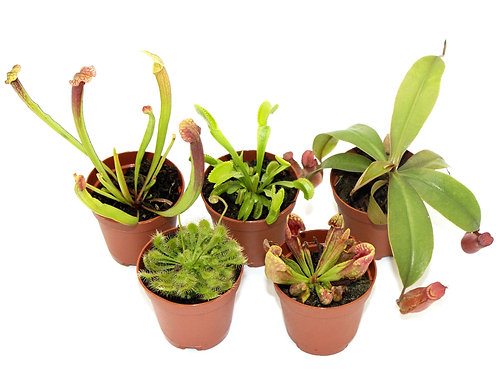 "Assorted Carnivorous Plant in 2"" Pot"