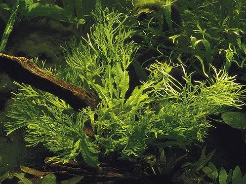 Java Fern 'Windelov' (Microsorum Pteropus)