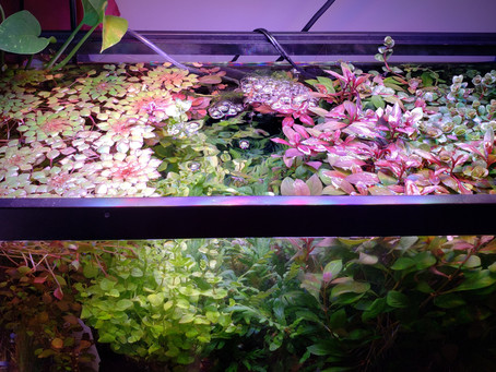 A Guide to Growing Healthy Aquarium Plants