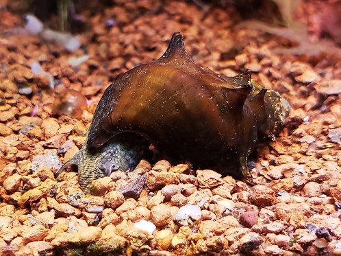 Horned Pagoda Snail