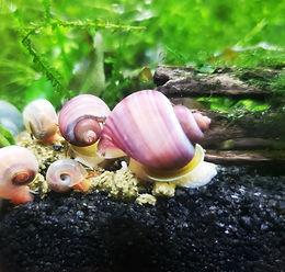 magneta snail.jpg