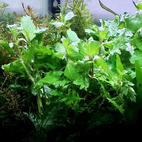 Water Wisteria (Hydrophila Difformis)