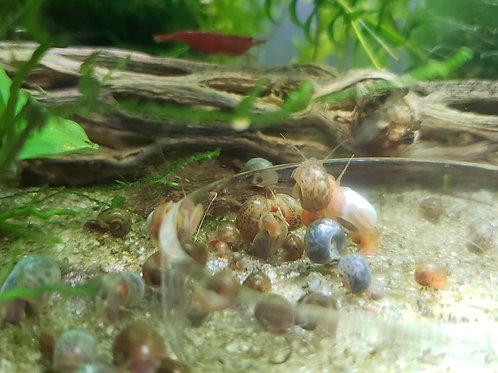 10-15 Ramshorn Snails