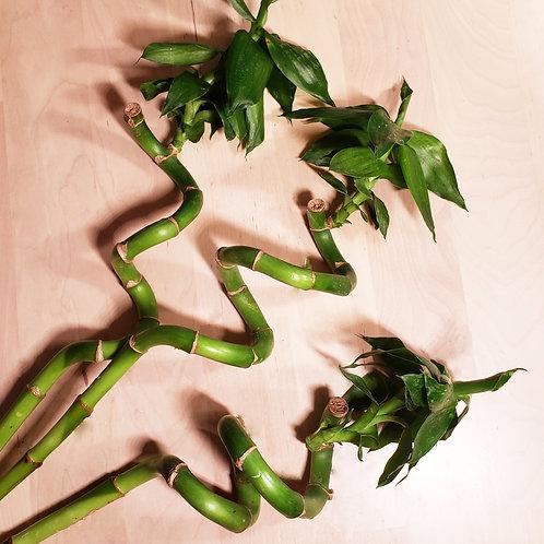 Curly Lucky Bamboo Plant (Dracaena Sanderiana)