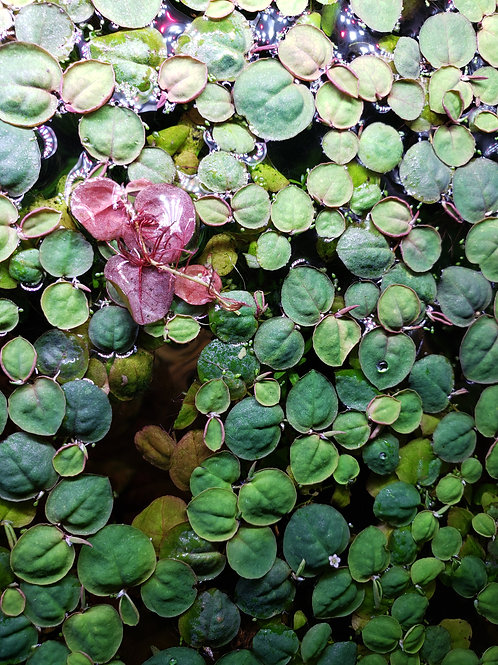 Red Root Floaters