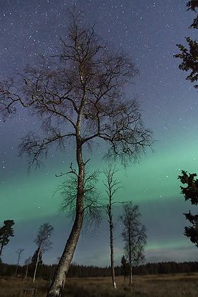 Aurora Tree