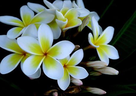 Sophisticated Plumeria Flowers Also Plum