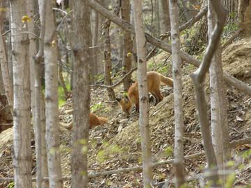 Fox Kits on the Hill