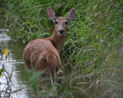 Doe Wading in Creek