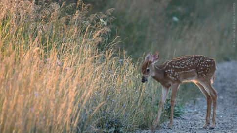Fawn Heading For Cover