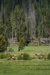 Herd of Elk Grazing