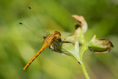 Dragon Fly in Yellow