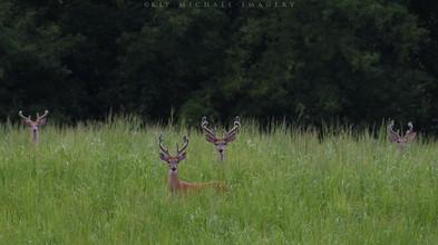 Bucks in the Switchgrass