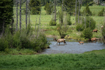 Collared Cow Elk and Calf