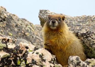 Marmot on the Rocks