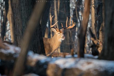 Whitetail Buck - Catching Wind