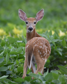 Whitetail Fawn in the Beans