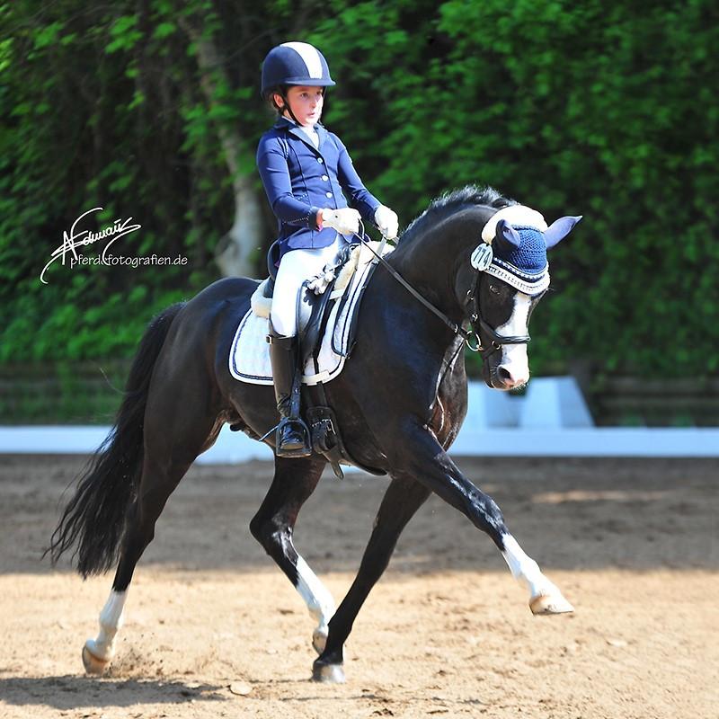 Etalon poney de dressage, RM V-Power, DRP, en France