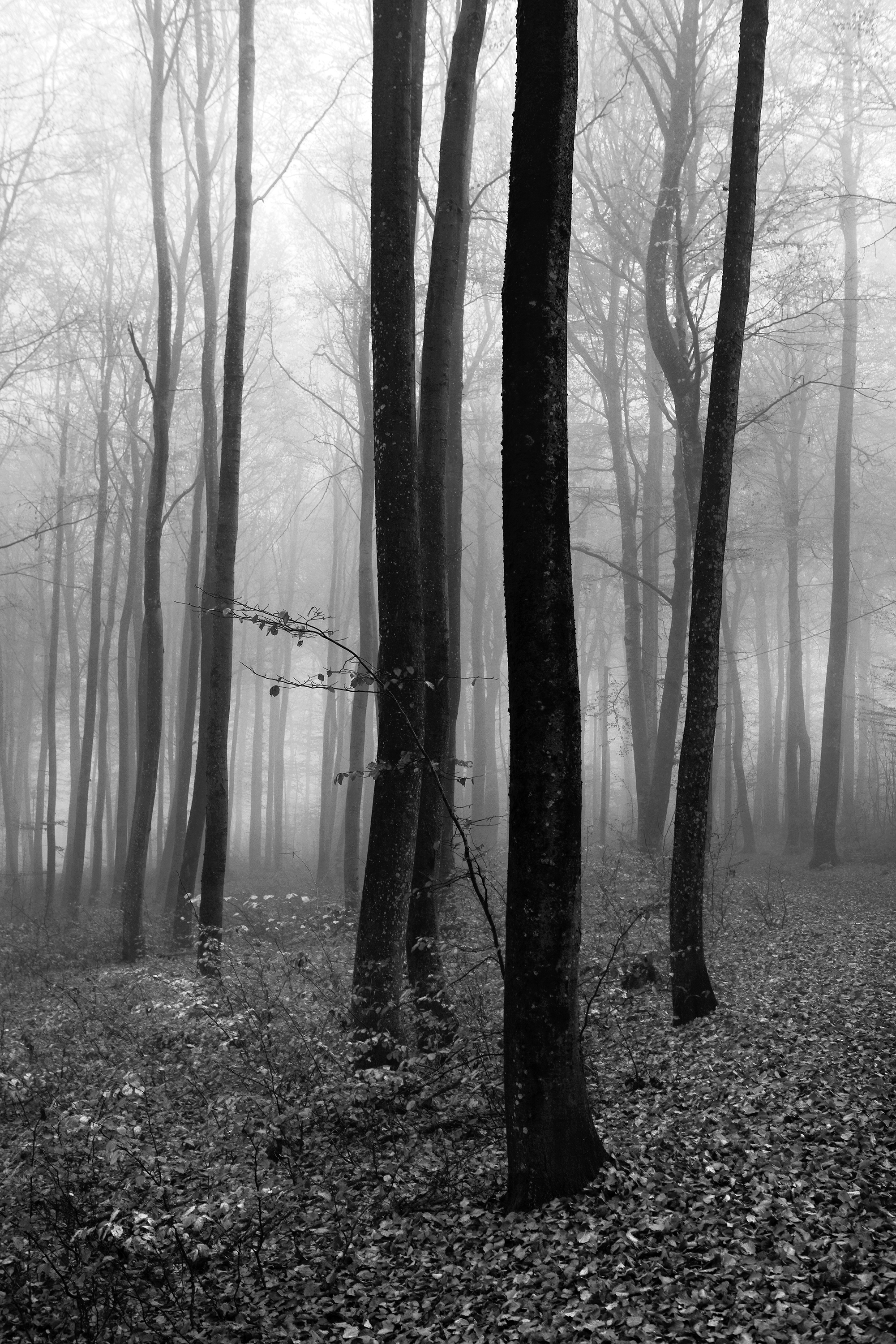 Forest fog # 4