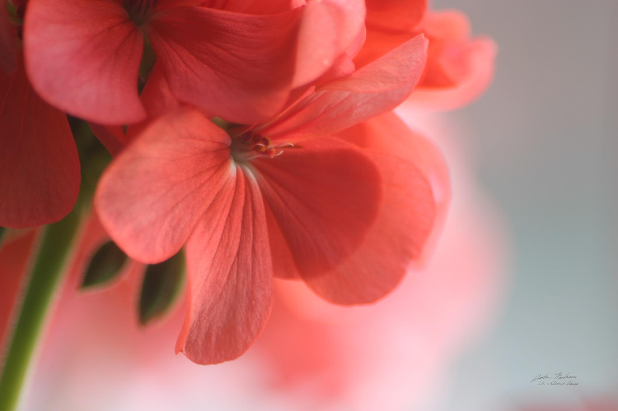 Petals of Pink 3