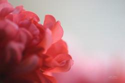 Petals of Pink 2