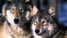 Wolf Show.jpg