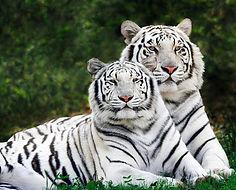 White Tiger Display