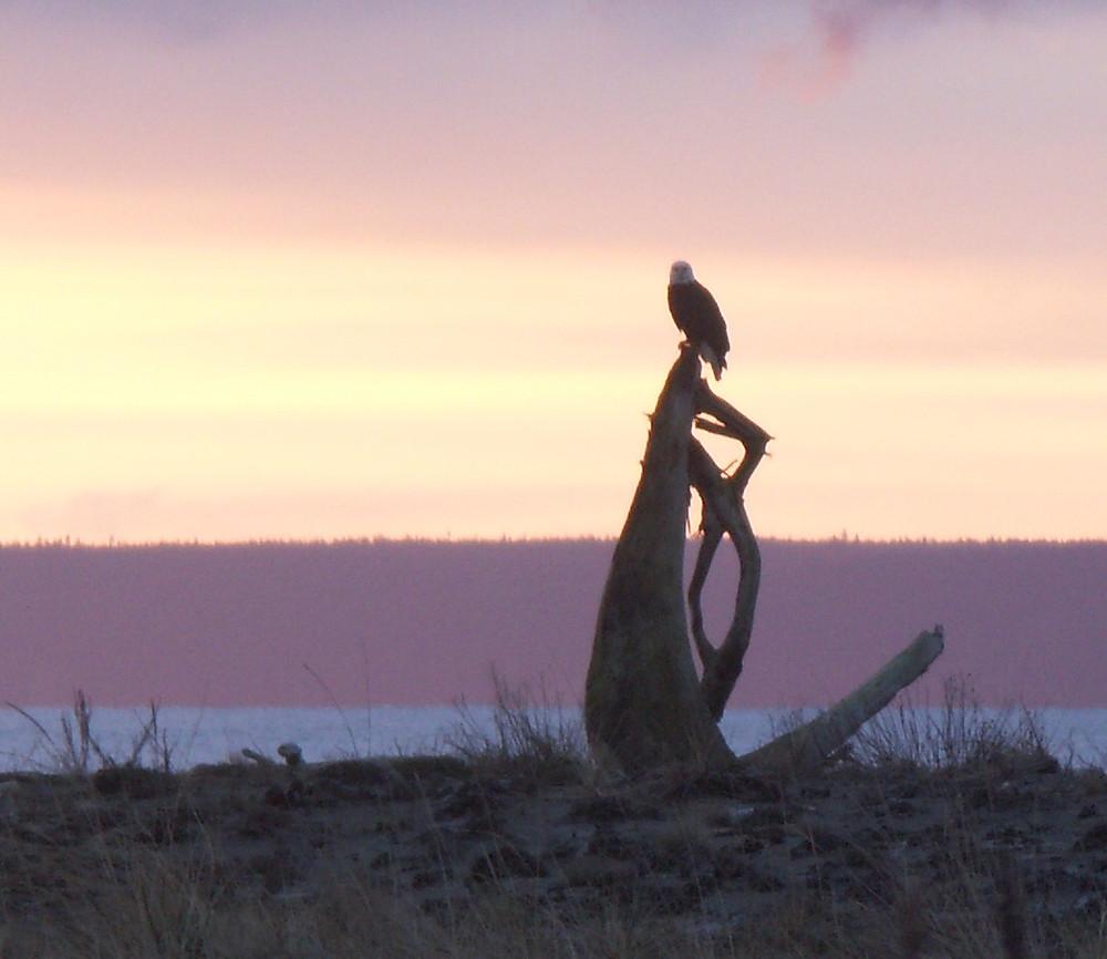 A Bald Eagle Overlooking the Sea