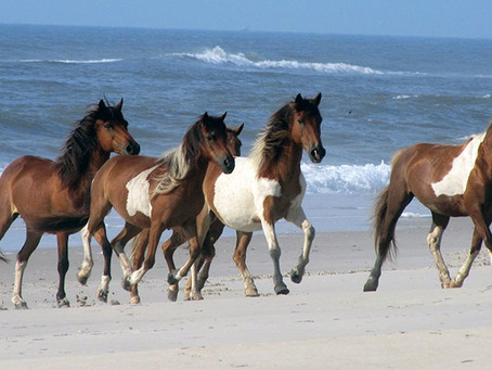 The Island of Freedom: 'Misty of Chincoteague' and the Annual Pony Swim