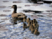 Ducklings6_edited.jpg