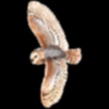 Barn Owl, Bird, Flying, Canstock Purchas